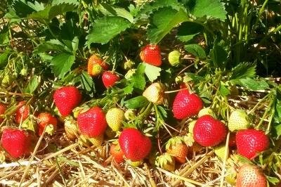 Полуниця подешевшає до 60 грн: яким буде врожай ягід